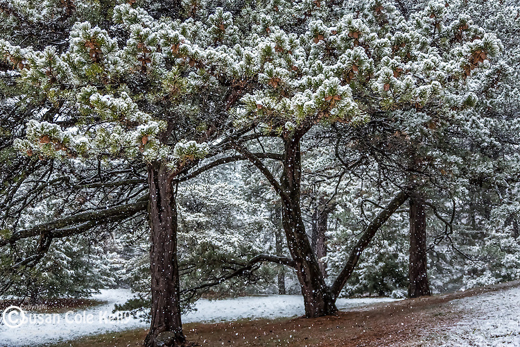 The pine grove at the Arnold Arboretum in the Jamaica Plain neighborhood, Boston, Massachusetts, USA