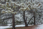 The pine grove at the Arnold Arboretum in the Jamaica Plain neighborhood, Boston, Massachusetts, USA