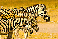 A herd of zebra, Etosha National Park, Namibia