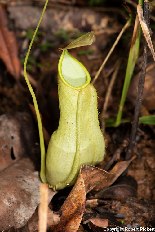 Pitcher Plant, Nepenthes distillatoria, Sinharaja World Heritage Site, Sri Lanka, endemic, Vulnerable IUCN Red Data List