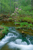 Fragrant pink azalea,  Otter Creek Flats<br />