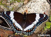 "0704-0804  White Admiral Butterfly, Limenitis arthemis ""Northeast United States Form""  © David Kuhn/Dwight Kuhn Photography"