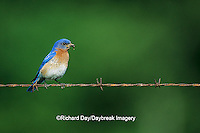 01377-01219 Eastern Bluebird (Sialia sialis) male on barbed wire fence with food   IL
