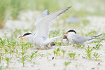 Common Terns (Sterna hirundo), pair with two chicks, one adult taking flight, Long Island, New York, USA
