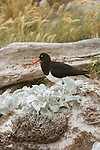 Magellanic Oystercatcher on Carcass Island.