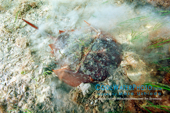 horseshoe crab, .burying itself for camouflage,  .Limulus polyphemus, .Florida Bay, Everglades National Park.
