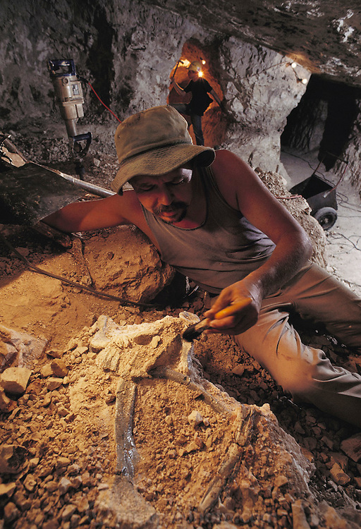 "Hunting for fossils: Mine owner Bob Foster displays fossil dinosaur remains found in an opal mine at ""he Sheepyards"" mine area of Lightning Ridge, southern Australia. Fossil excavations usually follow existing mining operations. The seam of opal-bearing rock is about 100-120 million years old, laid down during the mid-Cretaceous Period, a time of rich diversification of dinosaur species. Australian fossils are particularly interesting, as at that time the continent was much closer to the South Pole than today. This means that many dinosaurs would have had to cope with long periods of permanent darkness during the winter months. MODEL RELEASED [1989]."