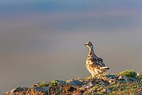 Rock ptarmigan, Utukok uplands, National Petroleum Reserve Alaska, Arctic, Alaska.