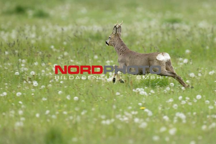 Reh, (lat. capreolus capreolus), Rehbock flŁchtend, flŁchtig, laufend, Geschwindigkeit, in Wiese, Jagd, Saeugetier,  Bewegung, springt ab, <br /> <br /> Foto: nordphoto *** Local Caption *** Original Naturfoto - hŲhere AuflŲsung auf Anfrage - Dig. Foto