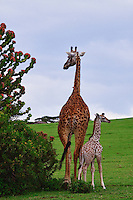 Giraffes on Crescent Island, Lake Naivasha, Kenya
