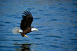 A bald eagle flying over the fish-rich waters of Southest Alaska.