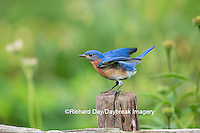 01377-18012 Eastern Bluebird (Sialia sialis) male wing-waving in flower garden, Marion Co., IL