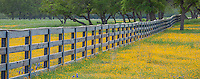 Gillespie, Texas Hill Country: Yellow blooming Lacy Tansy-aster (Machaeranthera pinnatifida) with fenceline near Stonewall, Texas.