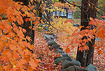 Maple trees in the Autumn, Sandwich, New Hampshire, USA