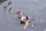 Harbor seal pups swimming