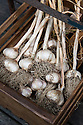 'Picardy Wight' garlic. A softneck variety, originally from Picardy in France.
