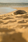 Endangered Hawaiian Monk Seal (Monachus schauinslandi) resting at Tunnels Beach, Kauai, Hawaii