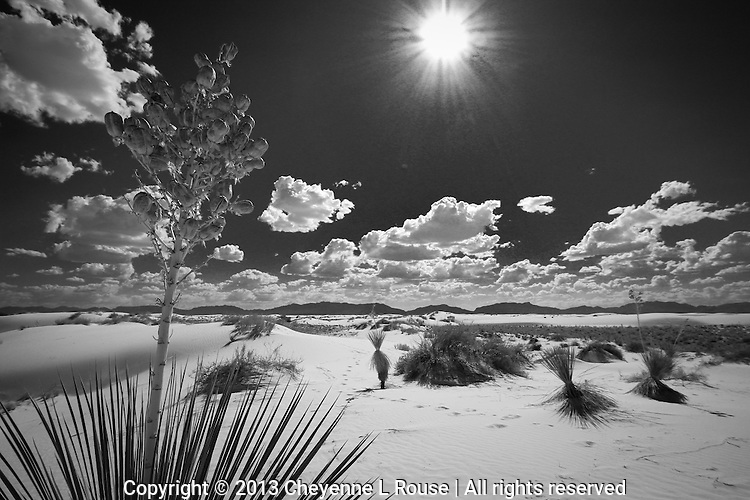 White Sands Yucca BW - New Mexico - White Sands National Monument