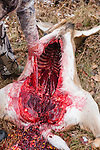 Field dressing a white-tailed buck in Wisconsin