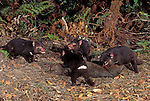 Tasmanian Devils (Sarcophilus harrisii) eating a Common Wombat carcass, Tasmania, Australia.