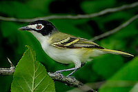 Black-capped Vireo, Passeriformes, taken near Killeen, TX