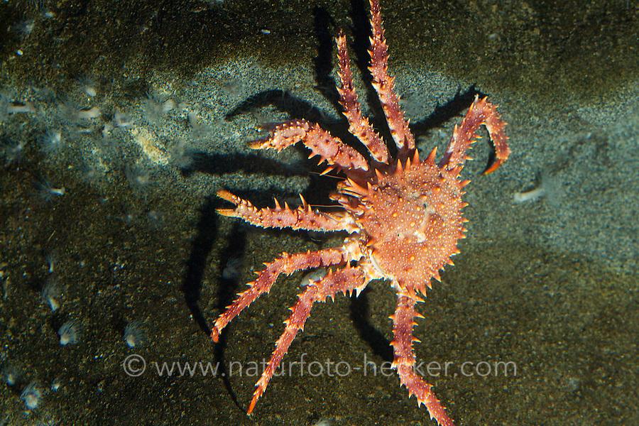 Nördliche Steinkrabbe, Nordische Steinkrabbe, Lithodes maja, Lithodes maja, Lithodes arctica, northern stone crab, king crab, Norway king crab