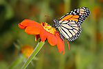 A Colorful Monarch Butterfly Nectaring On An Orange Flower With A Green Background, Danaus plexippus; Southwestern Ohio, USA