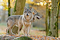 European Gray wolves (canis lupus), Germany, Europe