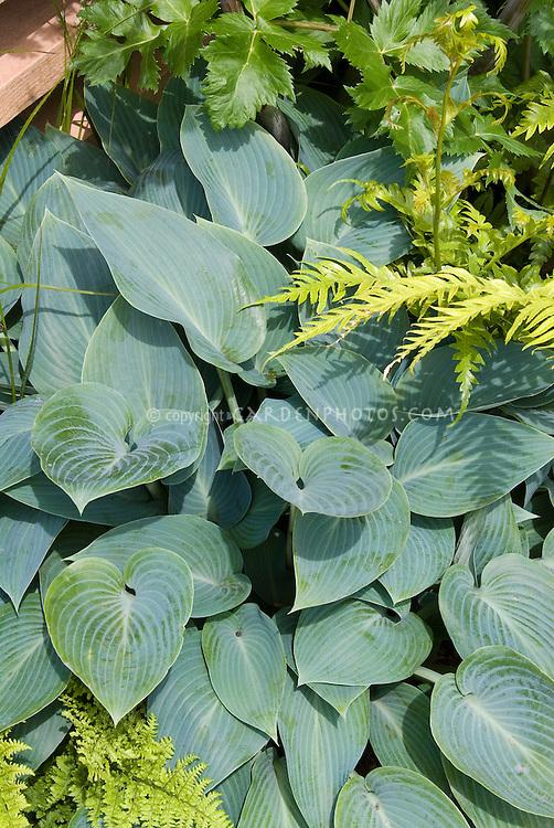 Hosta Halcyon, blue leaved perennial plant