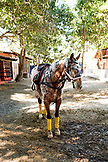 MEXICO, San Pancho, San Francisco, La Patrona Polo Club, horse tied to a mango tree at the stables