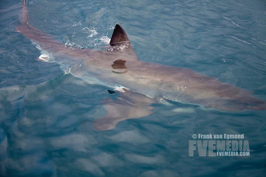 Great White shark, Gansbaai, South Africa.