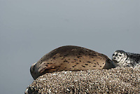 Harbor Seals (Phoca vitulina), Orcas Island, San Juan Islands, Washington, US