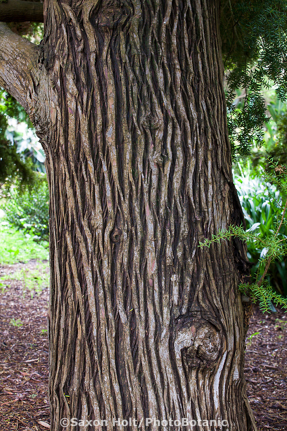 Podocarpus totara - Totara, bark detail;  Evergreen conifer tree from New Zealand in San Francisco Botanical Garden