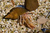 Gemeiner Einsiedler-Krebs, Einsiedlerkrebs, Pagurus bernhardus, Eupagurus bernhardus, in Schneckengehäuse, hermit crab