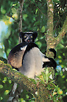 Indri, Perinet-Analamazoatra Reserve, Madagascar