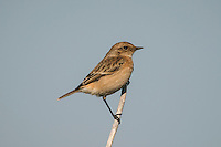Stonechat Saxicola torquata - Female. L 12-13cm. Small, compact bird. When perched, flicks short, dark tail and utters harsh alarm call. Sexes are dissimilar. Adult male has blackish head, white on side of neck, and dark back. Breast is orange-red, grading into pale underparts. In autumn, pale feather fringes make head appear paler. Adult female is similar but colours are muted and plumage is more streaked. 1st winter bird has streaked sandy brown upperparts and head, and buffish orange underparts. Voice Utters harsh tchak call, like two pebbles knocked together. Song is rapid and warbling. Status Locally common heaths, commons and gorse-covered slopes near coast. Some dispersal, mainly to coasts, occurs in winter.