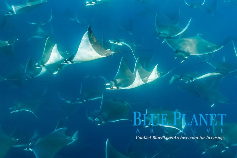 spinetail devil ray, spinetail mobula ray, or japanese mobula ray, Mobula japanica, schooling, Baja California, Mexico, Gulf of California, Sea of Cortez, Pacific Ocean