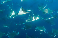 spinetail devil ray, spinetail mobula ray, or japanese mobula ray, Mobula japanica, schooling, Baja California, Mexico, Gulf of California, Sea of Cortez, Pacific Ocean