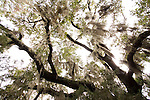 spanish moss hangs from a live oak tree in the Charleston Lowocountry South Carolina