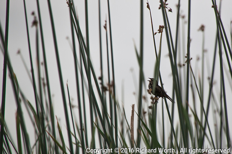 A bird sings, perched on tall green leaves at Coyote HIlls Regional Park, marshlands along San Francisco Bay.