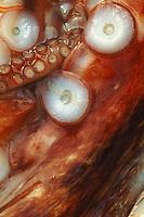 Abstract Close-up of Giant Pacific Octopus (OCTOPUS DOFLEINI). Halibut Cove, Kachemak Bay, Alaska,  USA
