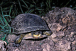 Blandings Turtle, Emydoidea blandingi, laying eggs