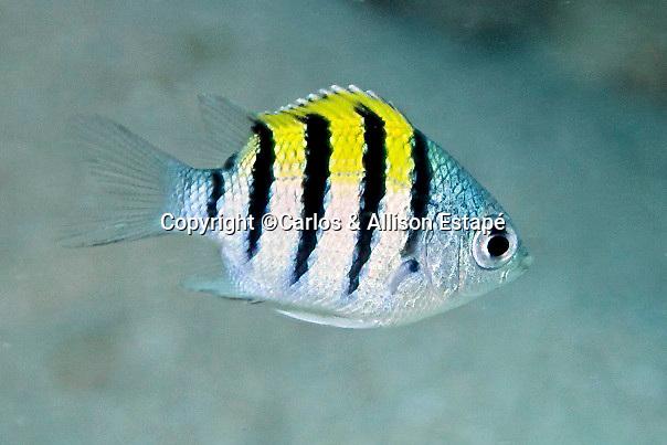 Abudefduf saxatilis, Sergeant major, juvenile, Florida Keys