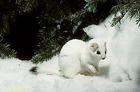 MA06-115x  Short-Tailed Weasel - exploring forest for prey in winter, camouflagued - Mustela erminea