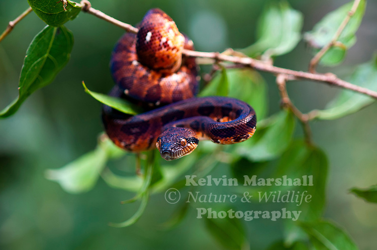 Juvenile Madagascar Tree Boa (Sanzinia madagascariensis) -  This medium-sized snake grows up to six to eight feet in length and weighs up to ten pounds In the eastern parts of its range its color is green to grey-green; in the western it is yellow, orange and/or brown. Andasibe-Mantadia National Park. Eastern Madagascar.