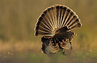 Wild Turkey, Meleagris gallopavo,male displaying, Lake Corpus Christi, Texas, USA