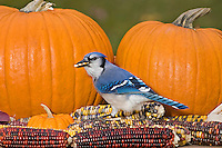 Blue Jay (Cyanocitta cristata) in backyard garden eating Indian corn beside Halloween pumpkin display.  Nova Scotia. Canada.