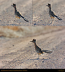 Greater Roadrunner, Bosque del Apache Wildlife Refuge, New Mexico