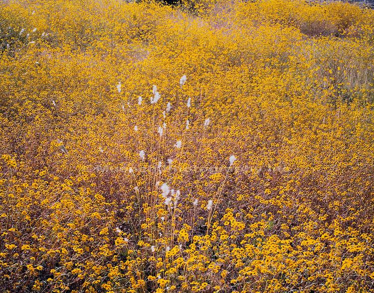 Tickseed and grass   ARIZONA , Blue River Wilderness