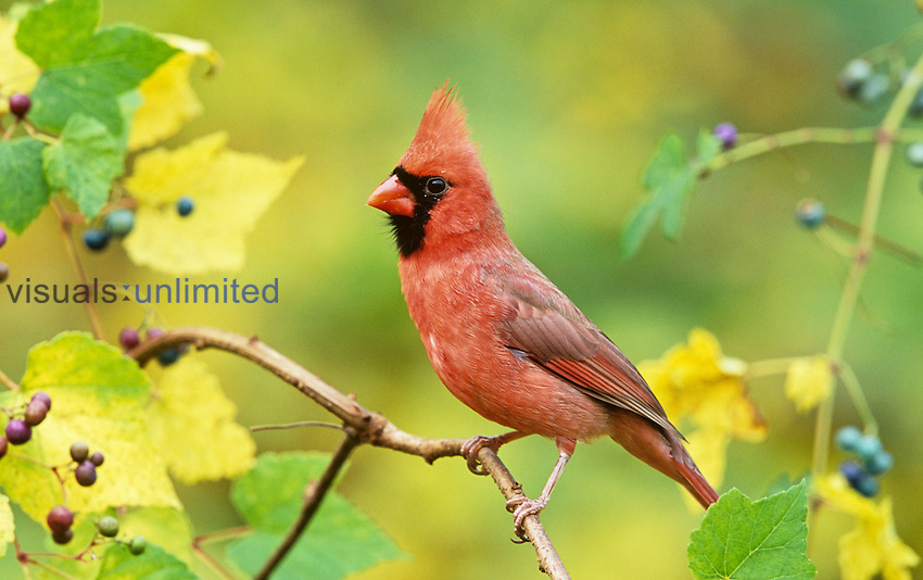 Male Northern Cardinal (Cardinalis cardinalis) in a Grape (Vitis), North America.